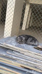 قط شيرازي (بالدمام)