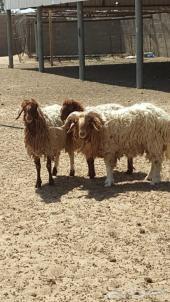 فحل خروف نعيم
