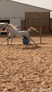 حصان واهو عيار ثقيل