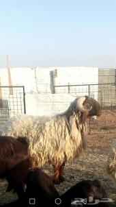 خروف فحل نعيمي