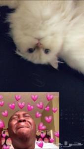 قطة هملايا جميلة للبع