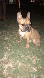 كلب فرينش بول دوق ذكر للبيع