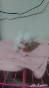 قطه شيرازي انثى عمرها ثلاث شهور للبيع