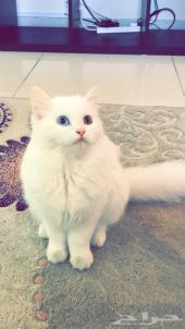 قط شيرازي للبيع بجدة