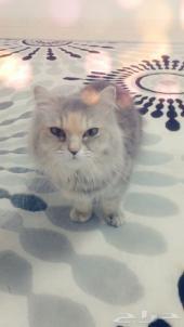 قطةللبيع أنثى