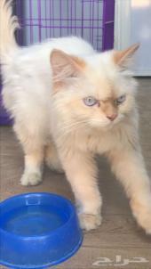 قط شيرازي جميل للبيع