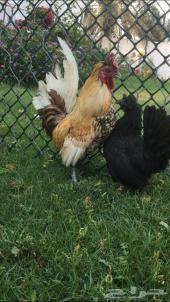 للبيع ديك ودجاجه