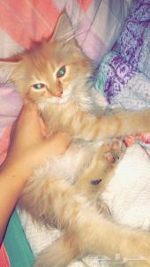 قطة شيرازي للبيع بمدينة الدمام