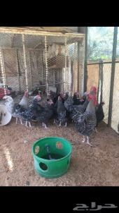 دجاج - تركي - القصيم