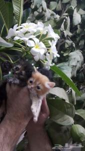 قطط هاف بيكي الذكر بيكي فيس والام شيرازي