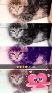 قطة شيرازي امريكي للبيع بمدينة الدمام