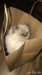 قطه هملايا تشوكليت للبيع مع خمسه اطفال من
