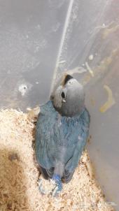 طيور الروز((تم بيعهم ))