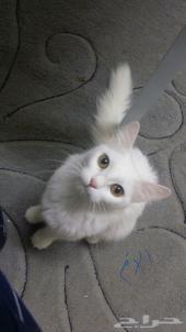 ثلاث قطط شيرازي