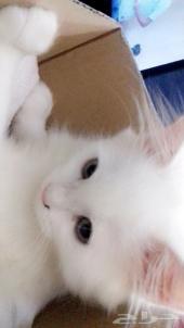 قط شيرازي ابيض وعيونه زرقاء للبيع العمر6 شهور