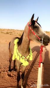 حصان شعبي شيخ ينافس الواهو