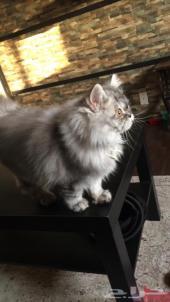 للبيع قطة شيرازي ذكر فضي عمر 4 شهور