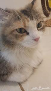 للبيع قطه شيرازي