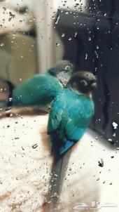 طيور (((تم البيع))