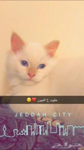 قط شيرازي ابيض عيون زرقا