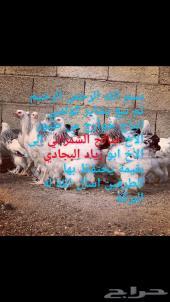 تم البيع براهماالله يبارك للشاري Vip