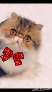 قطه بيرشن بيكي فيس للبيع