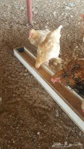 دجاج براهما بياض للبيع في الطائف
