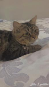 قط شيرازي نظيف جدا