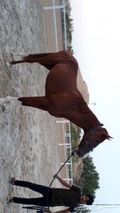 حصان للبيع هادي جدا وجميل
