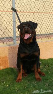 كلب جرو روت وايلر ألماني