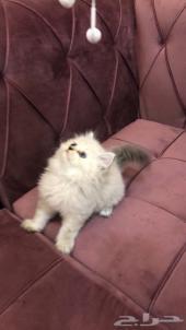 قط هملايا لينكس كيتن