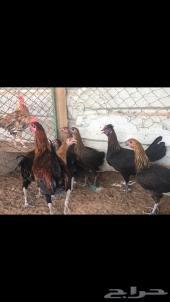 دجاج فيومي ذهبي للبيع
