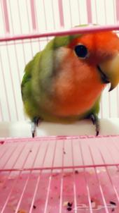 طيور الروز((تم البيع ))