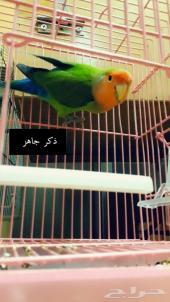 طيور روز(تم البيع)