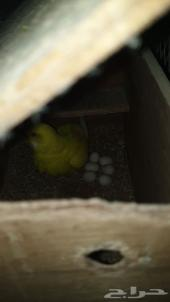 زوج بادجي لاتينو معاه 6 بيضات- تم البيع