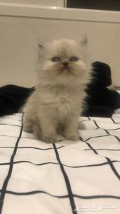 قطه هملايا للبيع العمر شهر و20 يوم