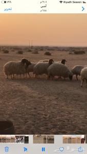 غنم نعيم متابيع ودفيع مقاريب طيبة- الرياض