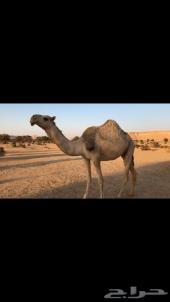 القحه كفو منوه القناي