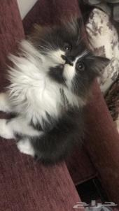 قطة للبيع عمر شهرين