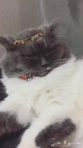 للبيع قطة انثى شيرازية