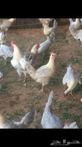 دجاج تبوك