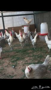 دجاج الرياض
