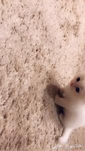 قطط شيرازية بعمر 3 أشهر ( ذكر وأنثى )
