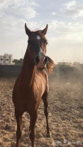 حصان شعبي شيخ سبوق