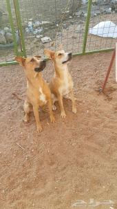 كلاب مكس للبيع