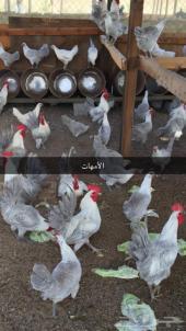 بيض دجاج فيومي المنيوم مخصب ب  100