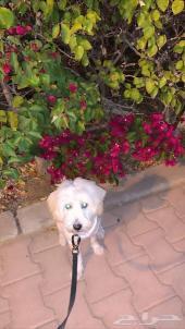 مفقود كلب في جده مالتيز