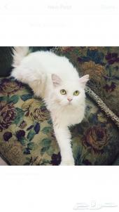 قطه منتجه ب 200 ريال