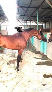 حصان واهو فاخر مستوى عالي