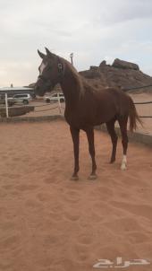 حصان واهو مكس للبيع